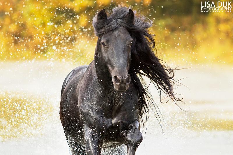 Welbrow Tommy - Fell Pony
